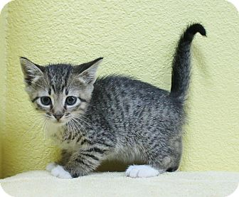 Domestic Shorthair Kitten for adoption in Benbrook, Texas - Sam