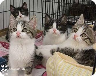 Domestic Shorthair Kitten for adoption in Merrifield, Virginia - Fitz