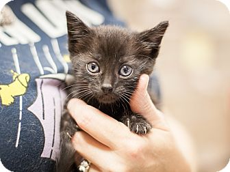 Domestic Shorthair Kitten for adoption in Dallas, Texas - Inky