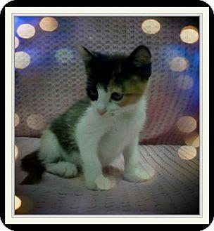 Domestic Shorthair Kitten for adoption in Trevose, Pennsylvania - Kischicko