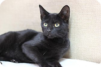 Domestic Shorthair Kitten for adoption in Midland, Michigan - Chason - PICK YOUR PRICE