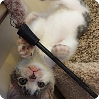 Adopt A Pet :: White & Tiger female kitten PP - Manasquan, NJ