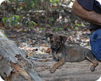 Rat Terrier Mix Puppy for adoption in Groton, Massachusetts - Rena