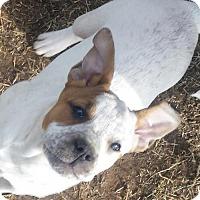 Adopt A Pet :: Whisper the DEAF Puppy - Tuttle, OK
