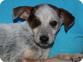 Australian Cattle Dog Mix Puppy for adoption in Starkville, Mississippi - Judd
