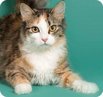 Domestic Mediumhair Cat for adoption in Sauk Rapids, Minnesota - Jamboree