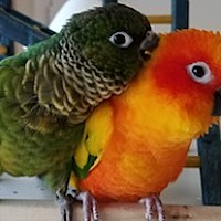 Conure for adoption in Frederick, Maryland - Daisy & Fergus