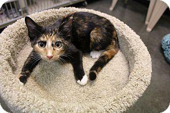 Domestic Shorthair Cat for adoption in Murphysboro, Illinois - Bett