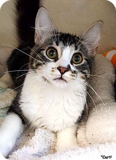 Domestic Mediumhair Kitten for adoption in Key Largo, Florida - Curtis