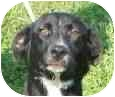 Labrador Retriever Mix Puppy for adoption in Lexington, Missouri - Blaze