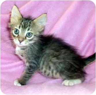 Domestic Mediumhair Kitten for adoption in Kansas City, Missouri - Parker