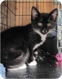 Domestic Shorthair Kitten for adoption in Point Pleasant Beach, New Jersey - Chaplin