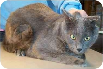 Domestic Shorthair Cat for adoption in North Judson, Indiana - Scooter