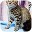 Photo 4 - Domestic Shorthair Cat for adoption in Houston, Texas - Pumpkin