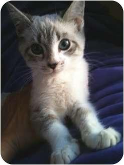 Siamese Kitten for adoption in Irvine, California - MIA