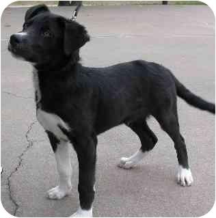 Labrador Retriever/Border Collie Mix Dog for adoption in Brenham, Texas - Tux