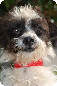 Jack Russell Terrier Mix Dog for adoption in Houston, Texas - Quincy in Houston