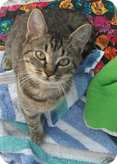 Domestic Shorthair Kitten for adoption in Holmes Beach, Florida - Denise