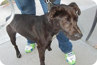 Pointer/Labrador Retriever Mix Dog for adoption in Clinton, Missouri - Stewart
