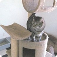 Adopt A Pet :: Silver Toes - Phoenix, AZ