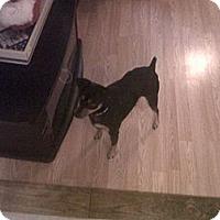 Adopt A Pet :: Scrappy - Houston, TX