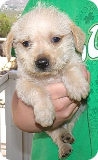 Chihuahua/Maltese Mix Puppy for adoption in Corona, California - SEBASTIAN