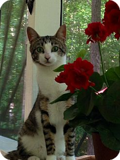 Domestic Shorthair Cat for adoption in Apex, North Carolina - Bentley