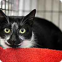 Domestic Shorthair Cat for adoption in Fairfax Station, Virginia - Xena Momma