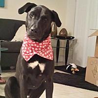 Labrador Retriever Mix Dog for adoption in Key Biscayne, Florida - Rafael