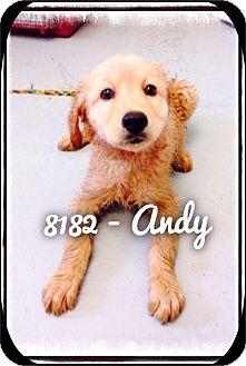 Labrador Retriever Mix Puppy for adoption in Dillon, South Carolina - Andy