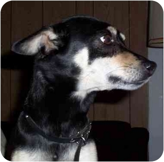Rat Terrier/Chihuahua Mix Dog for adoption in Sheboygan, Wisconsin - Stoney