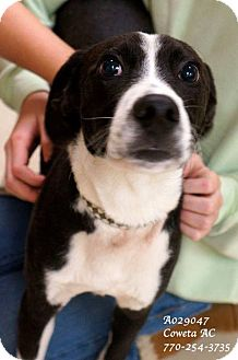 Pointer Mix Puppy for adoption in Newnan City, Georgia - Sparky