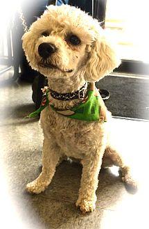 Poodle (Miniature)/Bichon Frise Mix Dog for adoption in Seattle, Washington - Max
