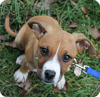 Boxer Mix Puppy for adoption in Foster, Rhode Island - Penny