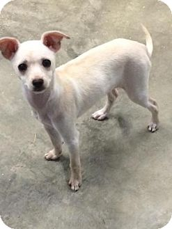 Chihuahua Puppy for adoption in Spring Valley, New York - Elsa