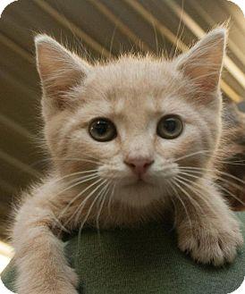 Domestic Shorthair Kitten for adoption in Hillside, Illinois - Carson- 8-10 WEEKS