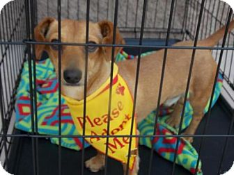 Dachshund Mix Dog for adoption in Bakersfield, California - Scotch Mellow