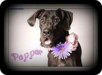 Great Dane Dog for adoption in Virginia Beach, Virginia - Pepper
