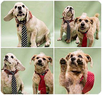 Cocker Spaniel Mix Dog for adoption in Ogden, Utah - koda