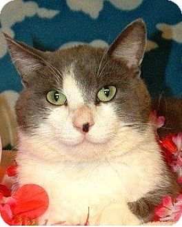 Domestic Shorthair Cat for adoption in Hillside, Illinois - Max-ALL ABOUT YOU