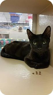 Domestic Shorthair Cat for adoption in Plymouth Meeting, Pennsylvania - Parrish
