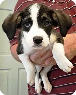 Australian Shepherd/Hound (Unknown Type) Mix Puppy for adoption in Kalamazoo, Michigan - Garth - Cathy R.