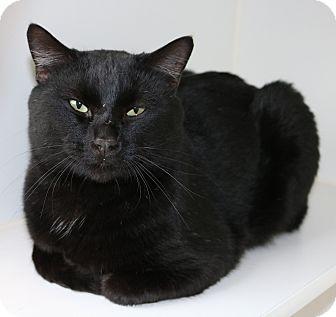 Domestic Shorthair Cat for adoption in Council Bluffs, Iowa - Denzel