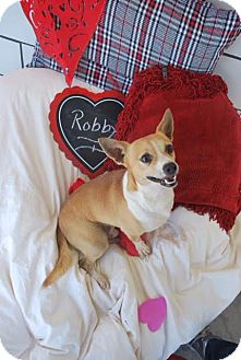 Jack Russell Terrier/Chihuahua Mix Dog for adoption in Saddle Brook, New Jersey - Robby