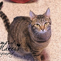 Domestic Shorthair Cat for adoption in Topeka, Kansas - Bug