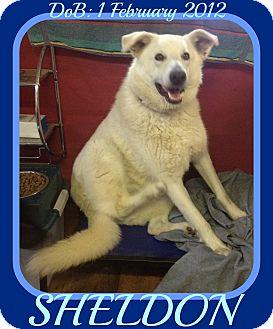 German Shepherd Dog Dog for adoption in Mount Royal, Quebec - SHELDON