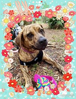 Plott Hound/Boxer Mix Dog for adoption in Tampa, Florida - Gigi FOSTER needed