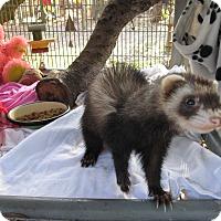 Adopt A Pet :: Ferret - Christmas, FL