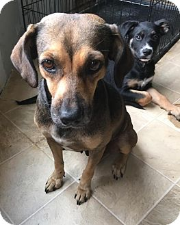 Beagle/Shepherd (Unknown Type) Mix Dog for adoption in Sterling Heights, Michigan - Tibby