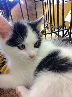 Domestic Shorthair Kitten for adoption in Redondo Beach, California - Brian